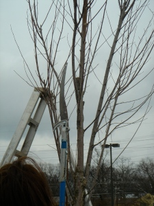 Tree with ladder, ready for pruning