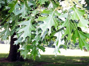 Learn how to tell the difference between red and white oak leaves