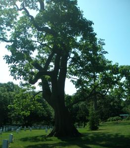 Yellowwood Tree at Arlington Cemetery