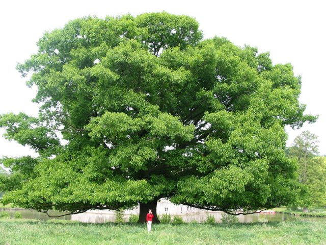 A champion red oak dwarfs a human - but not those with chainsaws