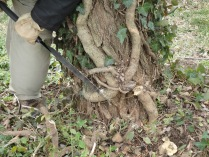 Ivy vines are carefully sawed to avoid damaging the tree