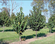 Two young Paw Paw trees