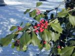 A hollytree with its red berries is naturally decorated for the holidays! The berries are also food for birds when the ground is covered in snow.