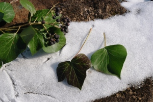 Note differences between immature ivy on left and mature on right, and the seeds.