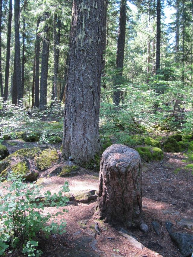 Living Stump in Oregon